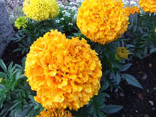 marigolds yellow orange