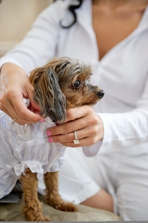 small dog being dressed